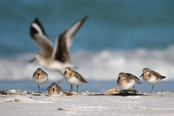 Sanderlings with Willet in Background